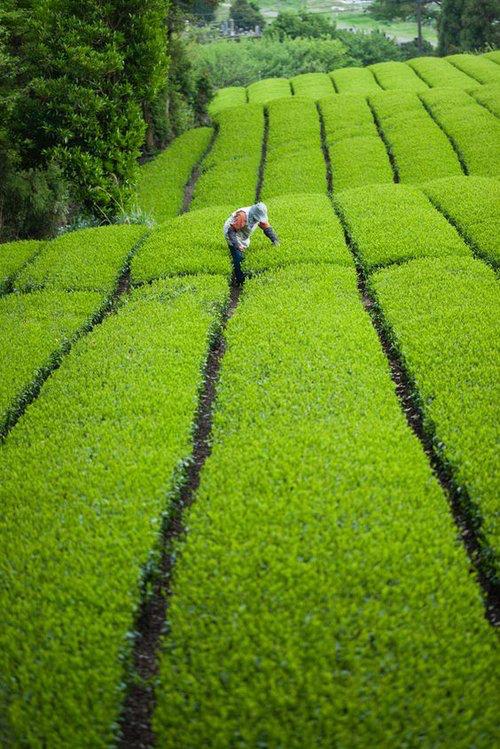 green tea farm